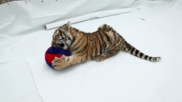 The tiger cub playing with ball on a white background