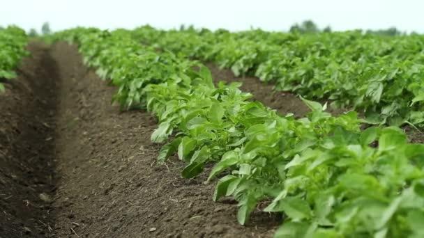Zöld burgonya növények termesztése terén