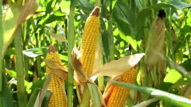 Spadices kukuřice