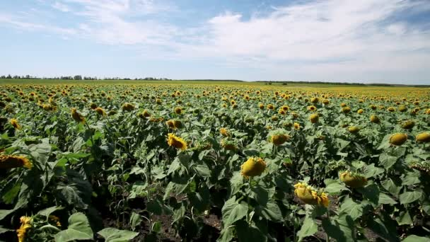 A field of sunflower heads with yellow flowers and green leaves
