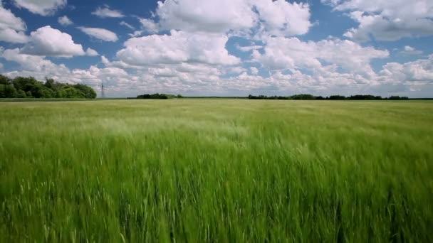 A mező a zöld fiatal búza.
