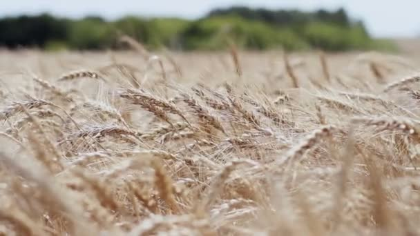 A field of wheat. Spikes of wheat with ripe grains.
