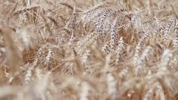 A mező a búza. Tüskék a búza érett szemek.