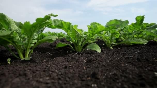 A cukorrépa-termesztés. A fiatal zöld hajtások cukorrépa területén.