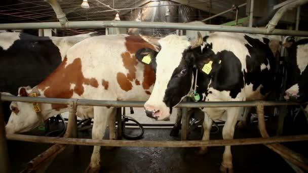 Дойка молока видео