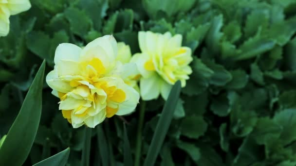 Floral garden. Close-up shot of a blooming yellow narcissus.