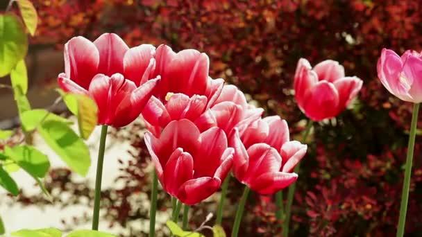 Květinová zahrada. Close-up shot sedm růžové kvetoucí tulipány s otevíráním okvětní lístky