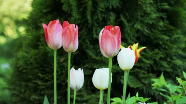 Květinová zahrada. Close-up shot z osmi kvete růžovými bílé a červené tulipány