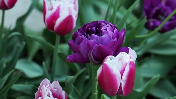 Floral garden. The purple and pink blooming tulips with open petals.