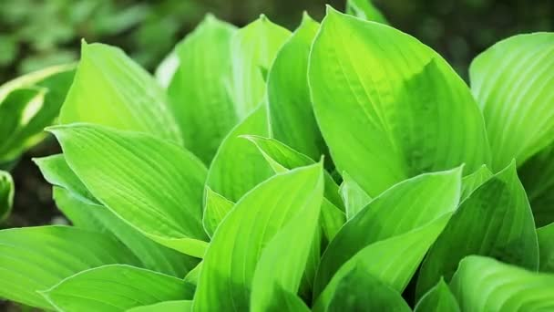 Floral garden. Close-up shot of a lush green plant of the hosta.