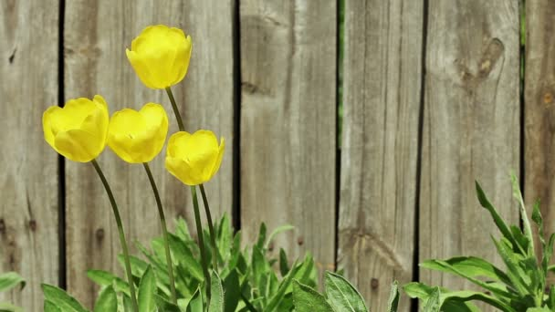 Květinová zahrada. Close-up shot žluté kvetoucí tulipány s otevíráním okvětní lístky
