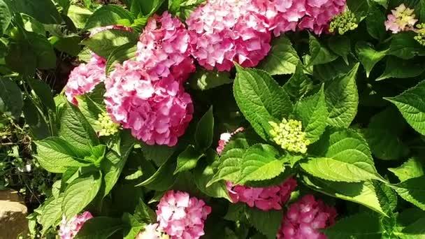 Květinová zahrada. Kvetoucí rostlina s malými růžovými kvítky. Zpomalený pohyb. HD