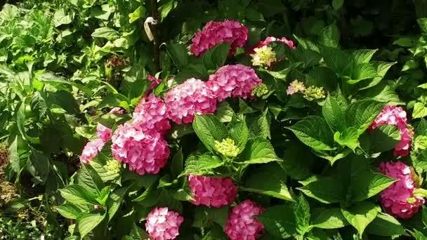 Virágos kert. Kis rózsaszín virágok virágzó növény. Lassú mozgás. HD