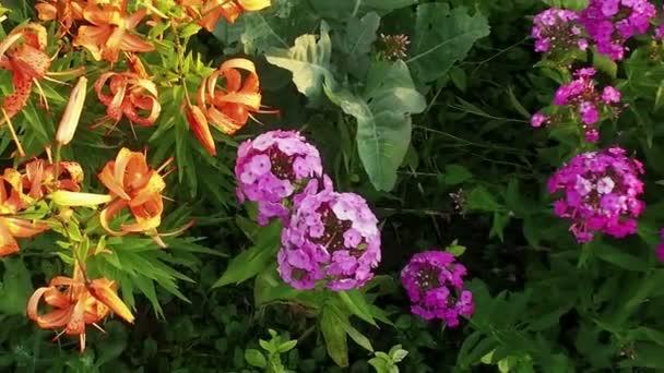 Virág ágy. Virágzó növények, rózsaszín és narancssárga virágok. Lassú mozgás. HD