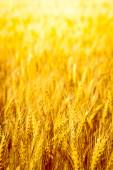 Fotografie golden wheat field close up