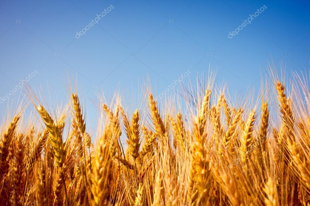 golden wheat field close up with blue sky