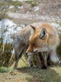 Roztomilý a chlupaté red fox (Vulpes vulpes) s velkýma očima