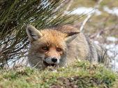 Red fox (Vulpes vulpes) skryté a šťastný