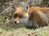 Red fox (Vulpes vulpes) skryté