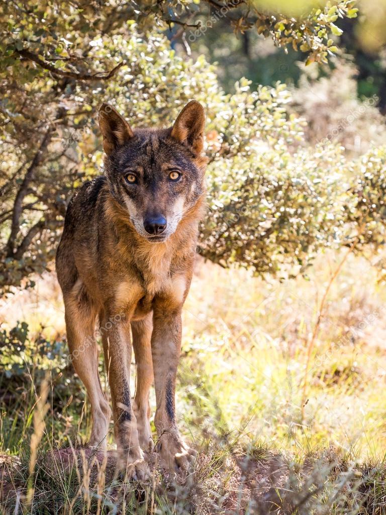 Fotos Lobos Hermosos Lobo Ibérico Con Ojos Hermosos En Otoño