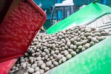Potato sorting, processing and packing at factory