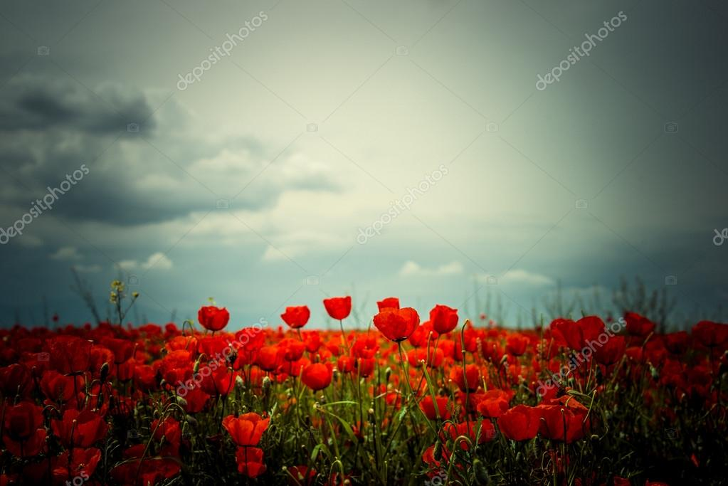 Picturesque meadow with red poppies