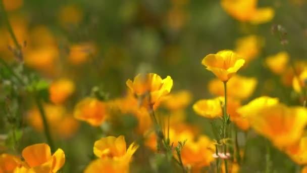 California Poppy Closeup Wild Flowers Super Bloom Lake Elsinore
