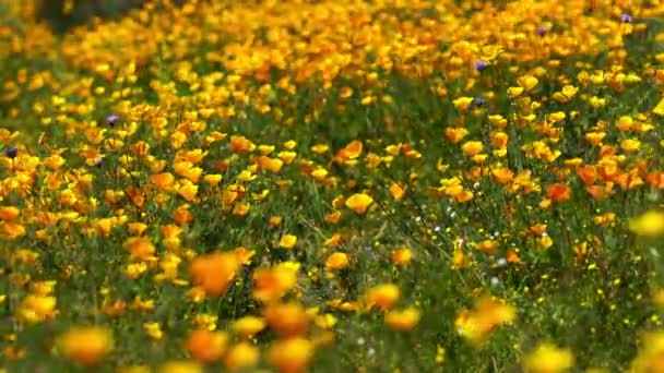 California Poppy Waving In Wind Wild Flowers Super Bloom Lake Elsinore