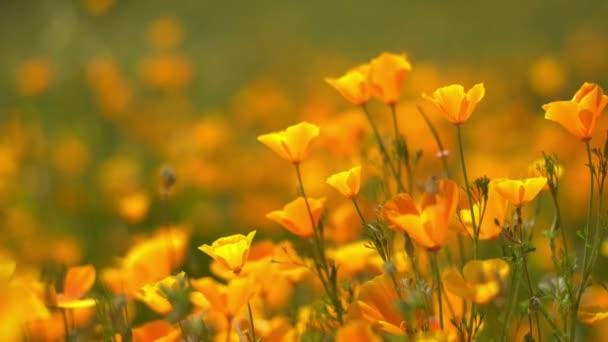 California Poppy Focus In Out Wild Flowers Super Bloom Lake Elsinore Closeup