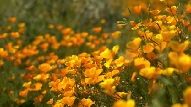 California Poppy Focus In Out 1 Wild Flowers Super Bloom Lake Elsinore