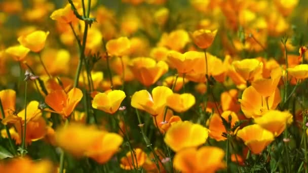 California Poppy Focus In Out Closeup Wild Flowers Super Bloom Lake Elsinore