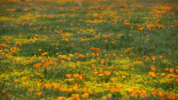 Poppy Flowers Super Bloom In Antelope Valley California USA