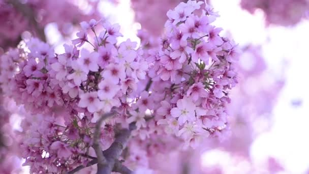 Cherry Blossom Sunlight Dolly and Pan Soft Focus In Spring Season Japan