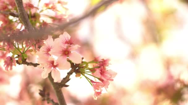 Cherry Blossom Dolly and Pan Soft Focus Sunlight In Spring Season Japan