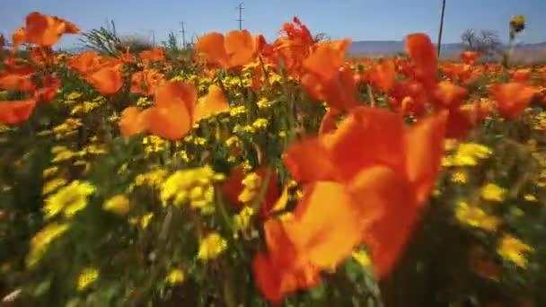 Květinové pole Bug s Eye View Poppy Super Bloom California 3 Axis Gimbal Stabilizer