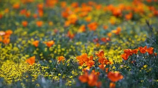 Poppy Flowers Super Bloom In Antelope Valley California USA