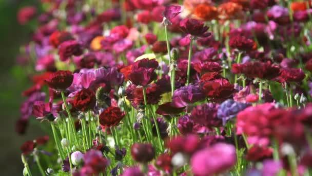 Closeup of Purple Persian Buttercup Flower Field Ranunculus Asijské