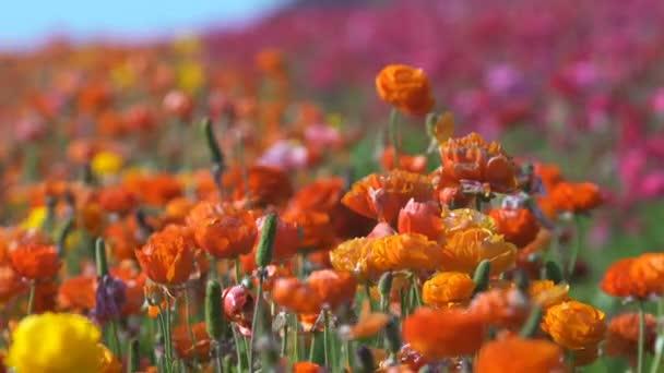 Detailní záběr oranžové perské máslové květy Ranunculus Asijské