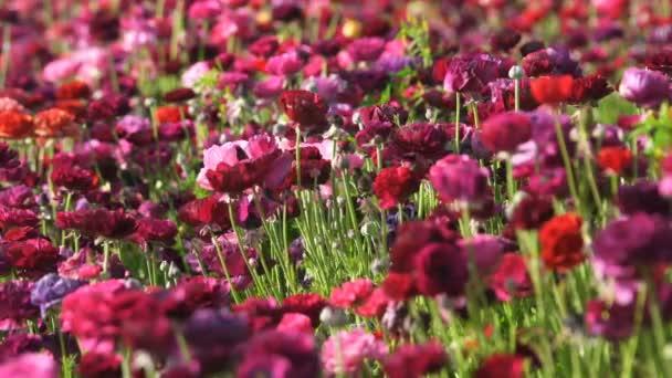 Closeup of Purple Persian Buttercup Flower Field Ranunculus Asiatic