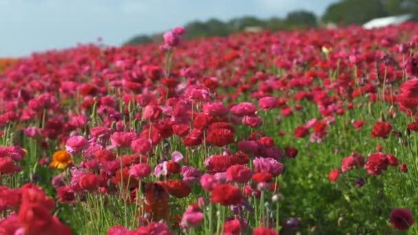 Ryšavý růžový perský máselník květinový Ranunculus asijský