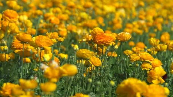 Žlutý pomerančový perský máselník Květinové pole Ranunculus asijský