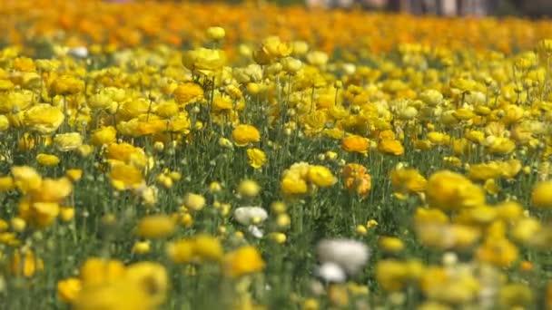Žlutý perský máslový květinový pole Ranunculus asijský
