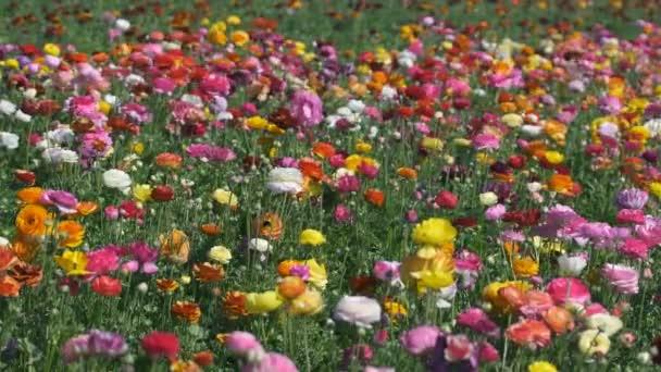 Barevný perský máslový květinový pole Ranunculus asijský