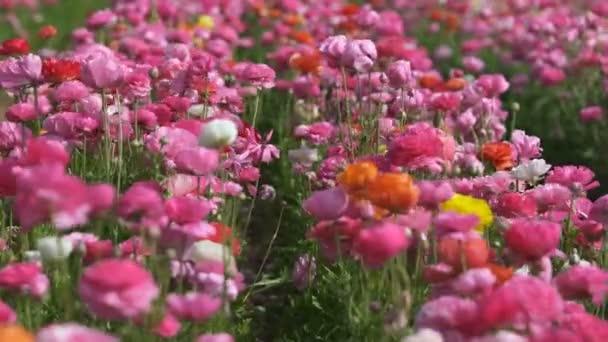 Perský máslový květinový pole Ranunculus asijské měkké zaměření dovnitř a ven růžová