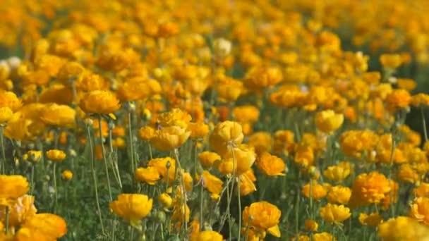 Perský máselník květinové pole Ranunculus asijské měkké ohnisko dovnitř a ven žluté pomeranče