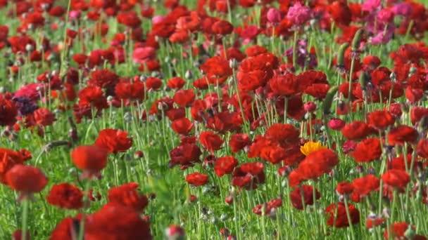 Červený perský máslový květinový pole Ranunculus asijský
