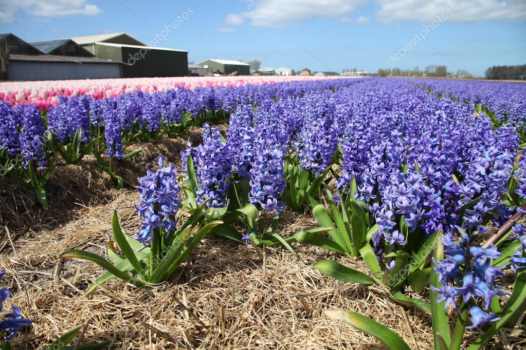 Field of colorful flowers hyacinth growing on the farm