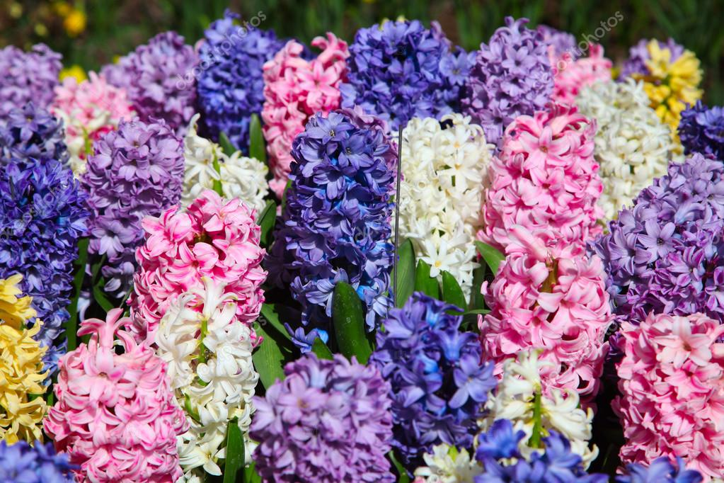 Multicolored flowers Hyacinths growing on the flowerbed on the farm