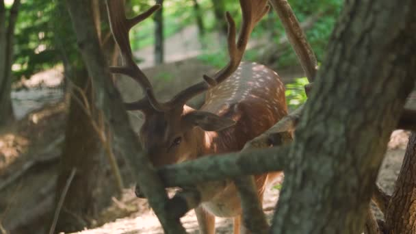 Dappled jelen s velkými rohy hnědé barvy jí kukuřice