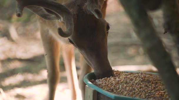 Hnědý tečkovaný jelen s rohy jí kukuřici ze zeleného kbelíku